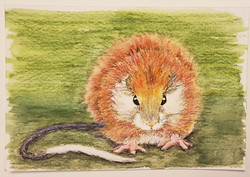 #44 Red-crested Tree Rat