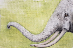 #291 African Forest Elephant