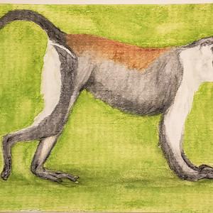 #292 Roloway Monkey