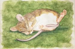 #304 Angel Island Mouse