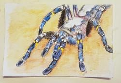 #5 Gooty Sapphire Tarantula