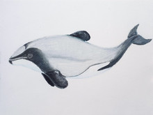 #77 Hector's Dolphin