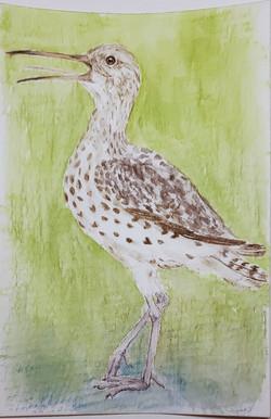 #220 Slender-billed Curlew