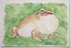 #119 Amboli Bush Frog