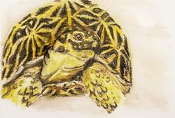 #12 Geometric Tortoise