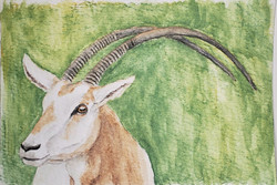 #297 Scimitar Horned Oryx