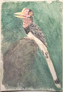 #202 Helmeted Hornbill