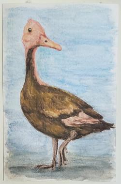 #83 Pink-headed Duck