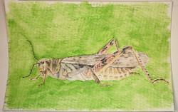 #178 Rocky Mountain Locust