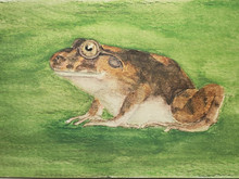 #235 Charles Darwin's Frog