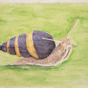 #298 Aldabra Banded Snail