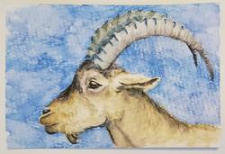 #67 Pyrenean Ibex