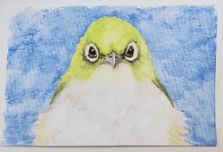 #76 White-chested White-eye