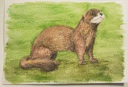 #91 European Mink