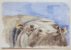 #39 Madagascan Pygmy Hippo