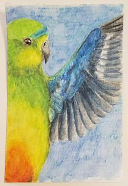 #84 Orange-bellied Parrot