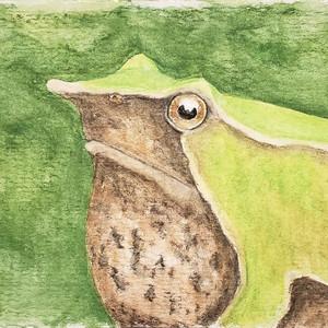 #318 Northern Darwin's Frog