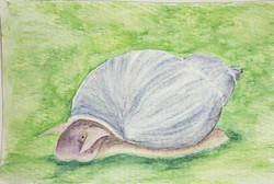 #275 Thickshell Pondsnail Critically Endangered Thickshell Pondsnail