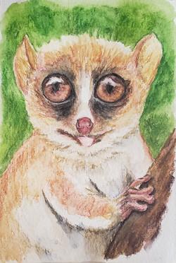 #13 Gerp's Mouse Lemur