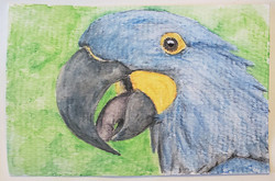 #110 Glaucous Macaw