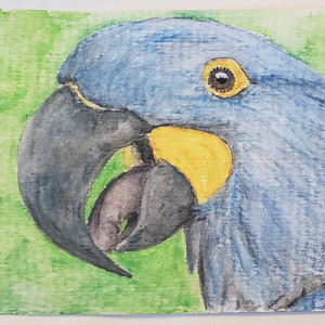 #110 Glaucous Macaw