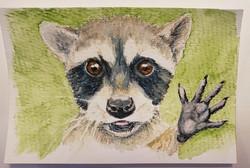 #36 Pygmy or Cozumel Raccoon