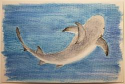 #153 Pondicherry Shark