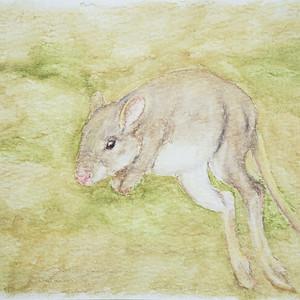 #364 Oolacunta or Desert Rat-Kangaroo`