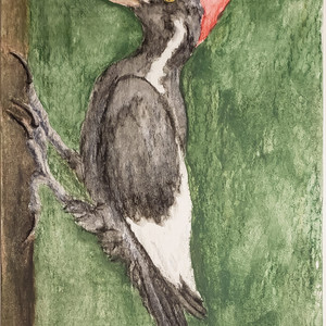 #277 Ivory-billed Woodpecker