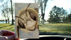 #256 Andrena labiatula