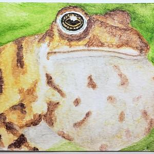 #228 Konkan tiger Toad
