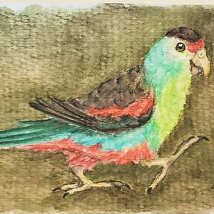 #106 Paradise Parrot