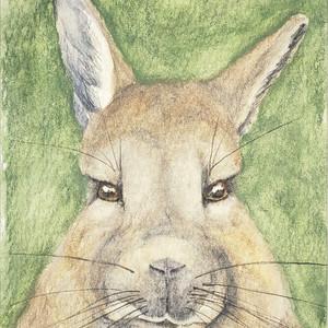 #340 Peruvian Viscacha
