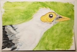 #136 Black-winged Starling