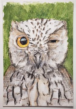 #168 Annobon Scops Owl