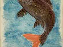 #305 Redtail Shark