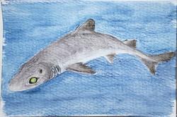 #223 Dwarf Gulper Shark