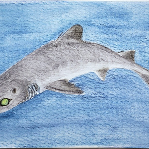 #223 Dwarf Gulper Shark