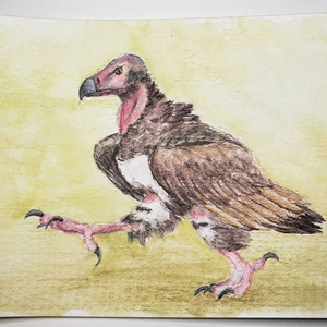 #164 Red-headed Vulture