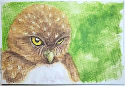 #131 Pernambuco Pygmy Owl