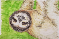 #46 Three-toed Sloth