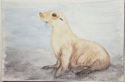 #204 Japanese Sea Lion