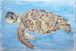 #224 Hawksbill Turtle
