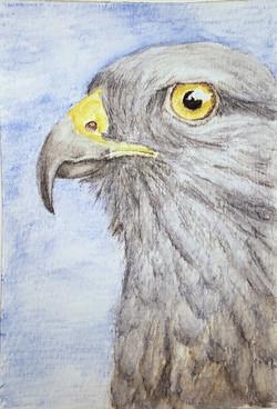 #300 Ridgway's Hawk