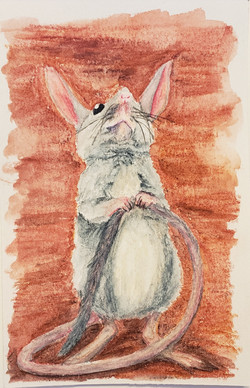 #28 Long-tailed Hopping-mouse