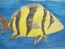 #241 Siamese Tiger Fish