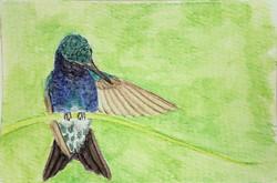 #310 Sapphire-bellied Hummingbird