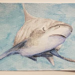 #79 Oceanic Whitetip