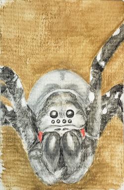#285 Desertas Wolf Spider