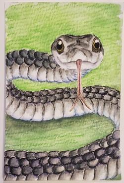 #59 St Vincent's Black Snake